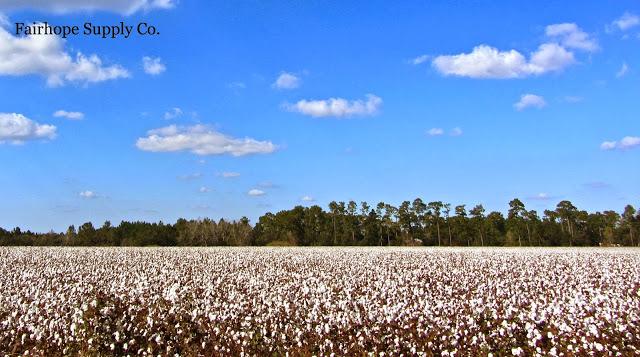 cotton field in Baldwin County Alabama